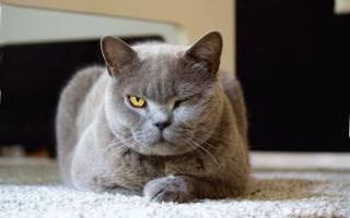Как выглядит лишай у кошки чем лечить