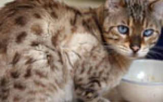 Лечение язвы желудка у кота