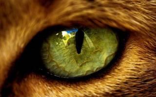 Глазные паразиты у кошек лечение