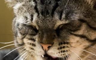 Лечение кашля у кошки в домашних условиях