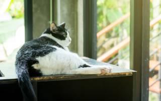 Дисплазия у кошек как лечить