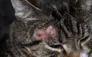 Милиарный дерматит у кошек симптомы и лечение