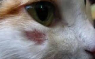 У кота фурункул чем лечить