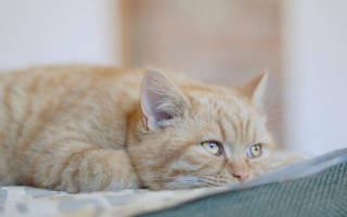 Энтеровирусная инфекция у кошек симптомы лечение