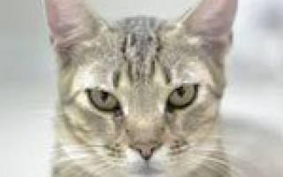 Интоксикация кота лечение