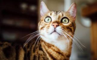Пироплазмоз у кошек признаки и лечение