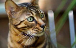 Чем лечить ринит у кошек