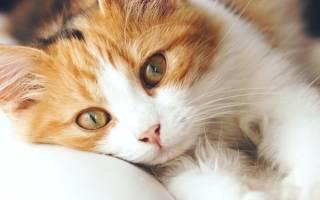 Пневмония у кошек лечение