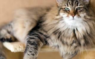 Миозит у кошек симптомы и лечение