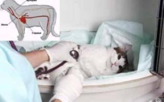У кошки болезнь сердца как лечить