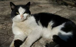 Сепсис у кошек симптомы и лечение