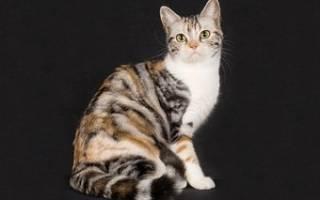 Уход за необычной породой кошки