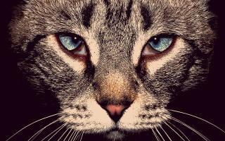 Блефарит у кошки симптомы и лечение