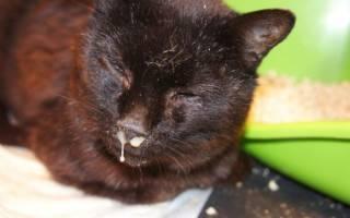 Ринит у кошки лечение в домашних условиях