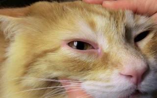 У кошки конъюнктивит чем лечить дома