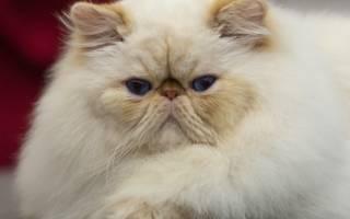Уход и содержание персидских кошек