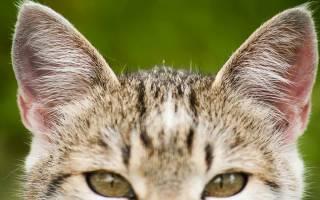 Чем лечить ушки кота