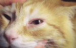 У кота слезится глаз лечение