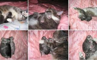 Серома у кошки после стерилизации как лечить