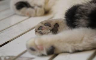 Кот хромает на задних лапах лечение