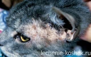 Как называется болезнь кошки коросты на теле
