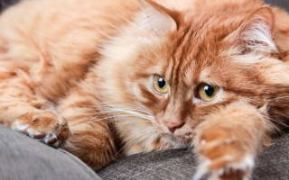 Лечение дисбактериоза у кошки