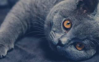 Кот британец описание породы уход