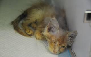 Симптомы чумки у кошек как лечить
