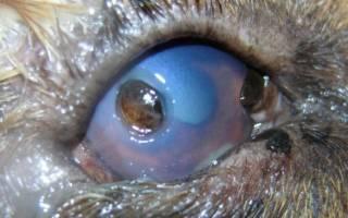 Язва глаза у кошки лечение