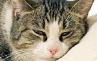 Менингоэнцефалит у кошек симптомы и лечение