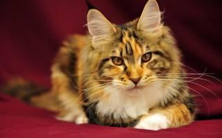 Малассезионный дерматит у кошек лечение
