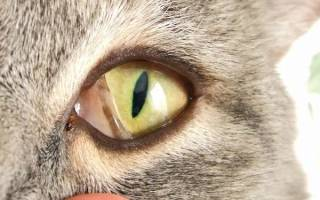 Болезни кошек третье веко