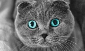 Болезнь лап у шотландских кошек