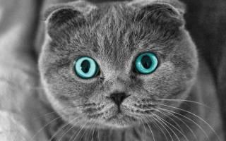 Болезнь суставов у шотландских кошек