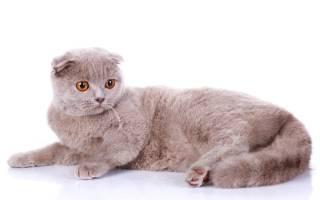 Болезни британских кошек симптомы и лечение