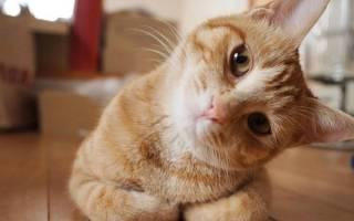 Вестибулярная у кошки лечение