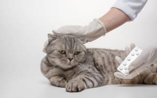 Болезнь вислоухих котов остеохондродисплазия
