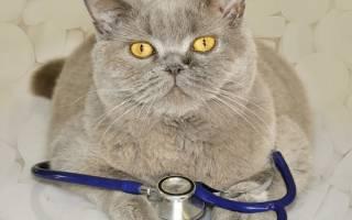 Иммунодефицит у кота симптомы и лечение