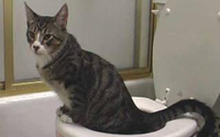 Кошка писает кровью как лечить