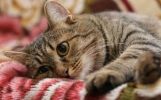 Кастрированный кот питание и уход