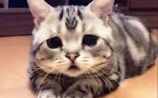 Чумка у кошек лечение в домашних