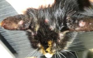 Чем лечить блошиный дерматит у кошки