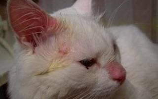 Золотистый стафилококк у кошек лечение