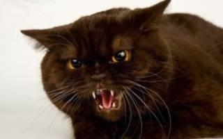 Лечение агрессии у кошек