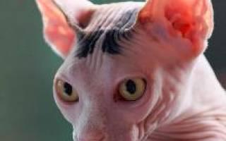 Кошки канадский сфинкс уход и характер