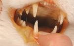 Желтая кожа у кота причины лечение
