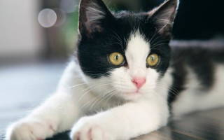 Бельмо на глазу у кота как лечить