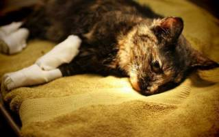 Чем лечить коту ожоги на лапах