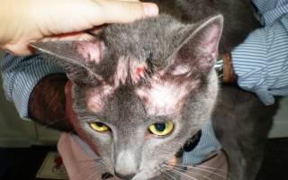 Лишай у кошек как долго лечить