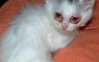Конъюнктивит у кота лечение в домашних